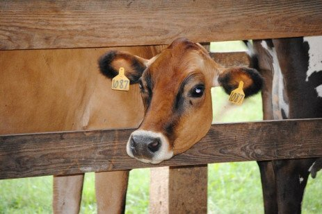 Recommendations for Calf and Heifer Housing Dimensions for Jerseys