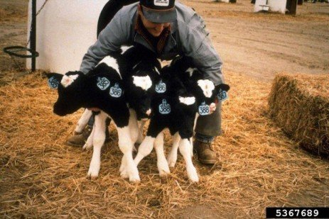 Calving Alert Systems: Know Exactly When Your Cow is Calving