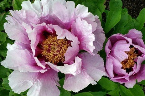 The Beloved Peony