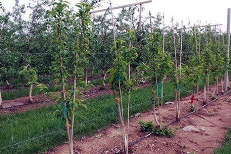 Apple Top-Working: Managing the New Grafts