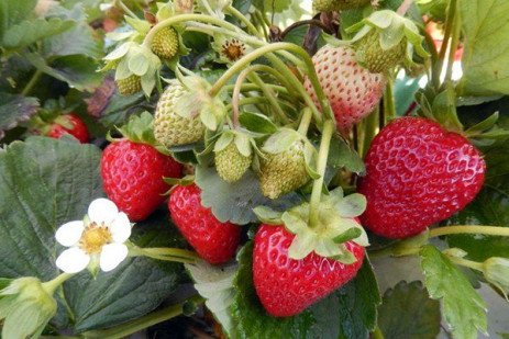 Causes of Strawberry Blossom Blights and Dried Berries