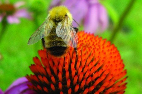 Conserving Wild Bees in Pennsylvania