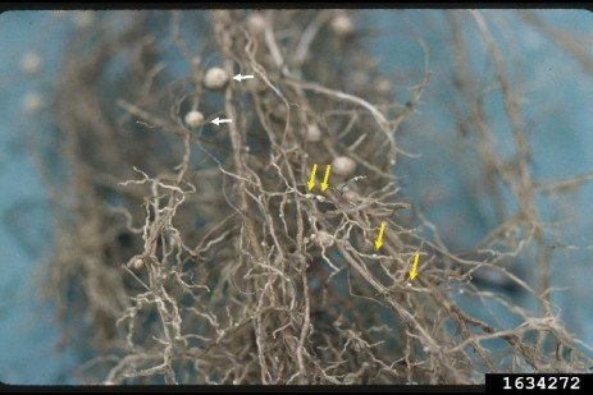 Plant Parasitic Nematodes Explained