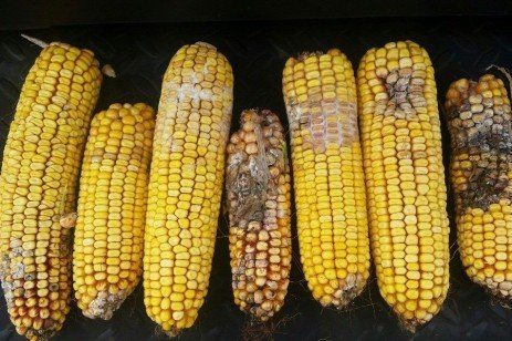 Avoiding Mycotoxins in Grain Corn and Silage