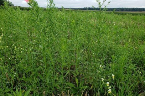 Late Weed Control and Burndown Considerations Before Planting Fall Crops