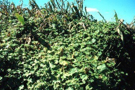 Managing Burcucumber and Other Late Season Weeds in Corn and Soybeans