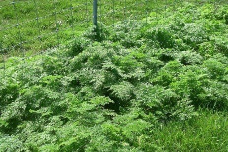 Livestock Producers Should Recognize and Manage Poison Hemlock