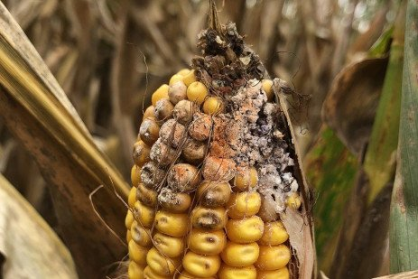 Dealing with Moldy Corn