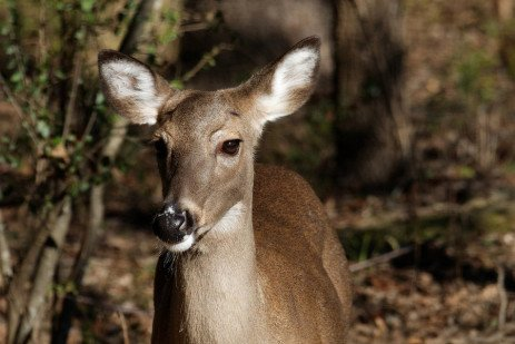 Precautions for Deer Hunters in Areas with Chronic Wasting Disease
