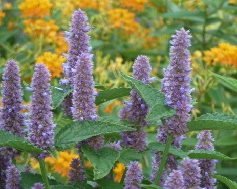 Anise Hyssop for the Perennial Garden