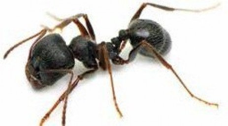 Got Ants? Eliminate them with IPM.