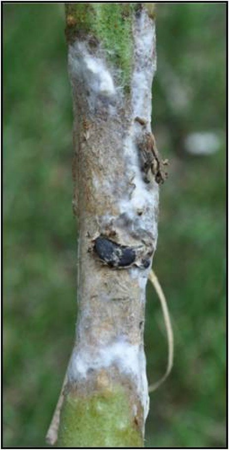 Frequently Asked Questions about Timber Rot on Tomato
