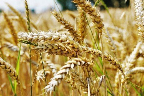 Eleventh Hour Reminders for Wheat Planting – Part 1
