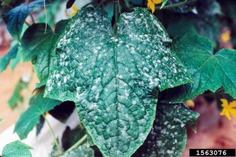 Powdery Mildew in Brambles in Home Fruit Plantings