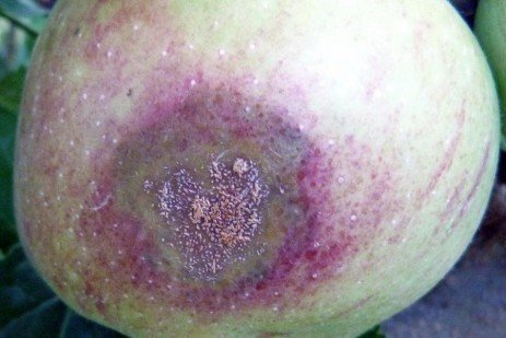 Apple Disease, Pre- and Post-harvest - Keep Apples Free From Fruit Rot