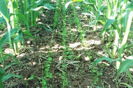 Cover Crop Interseeder: Potential for Injury from Corn Herbicides