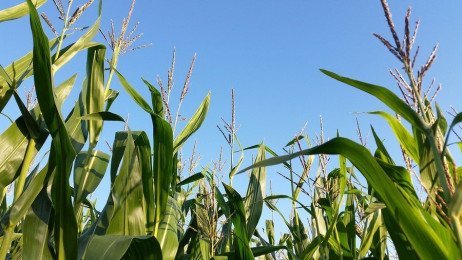 Yield Estimation and Assessment in Field Corn