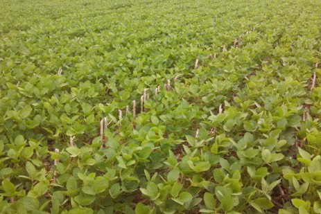 Which Dicamba Products can be Sprayed Burndown in Xtend Soybeans?