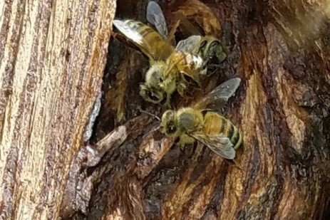 Tracking the Health of Feral Honey Bees in Pennsylvania