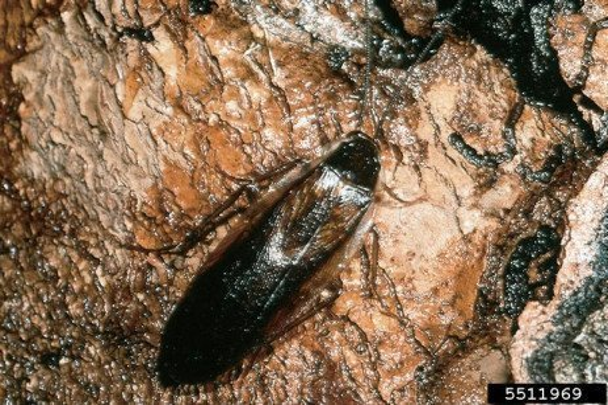 Cucaracha de los Bosques de Pennsylvania