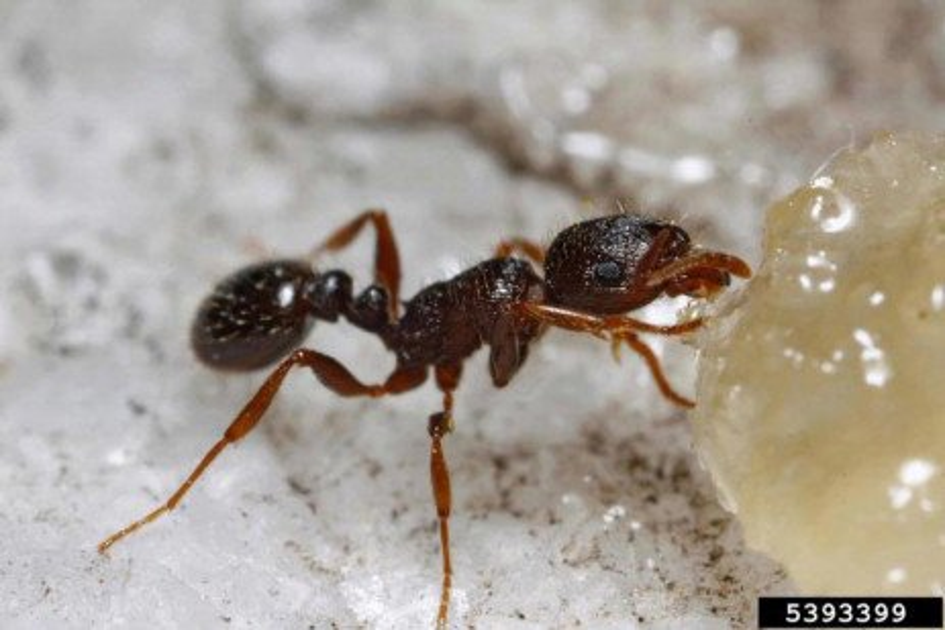 Hormigas de Pavimento