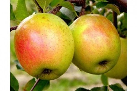 Apple Cultivars: Scab Resistance Selections