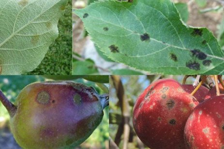 Orchard IPM - Scouting for Apple Scab