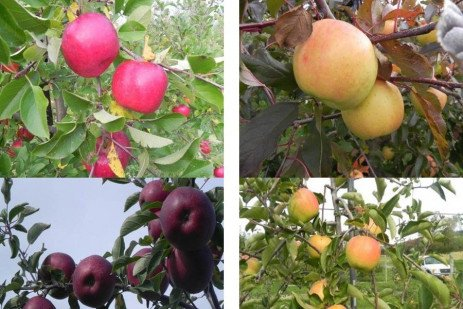Apple Cultivars - Newer Scab Resistant Selections