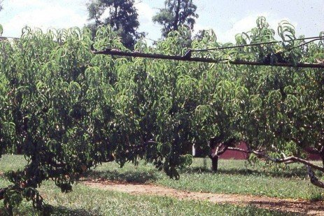 Fruit Tree Pruning - Summer Pruning Cautions