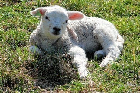 Off-Season and Accelerated Lamb Production