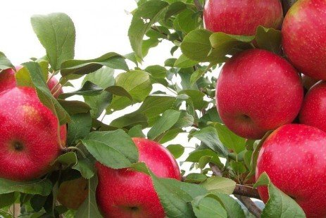 Fruit Harvest - Estimating Apple Yield and Fruit Size