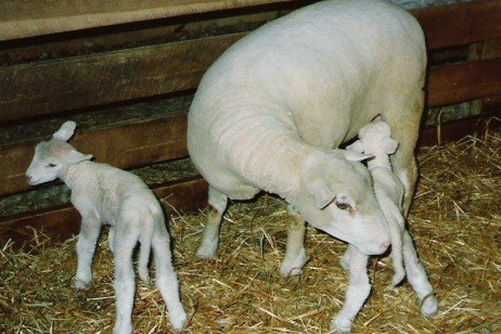 Feeding and Managing Your Bred Ewe Lambs