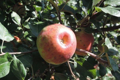Apple Fruit Disorders - Calcium Deficiency