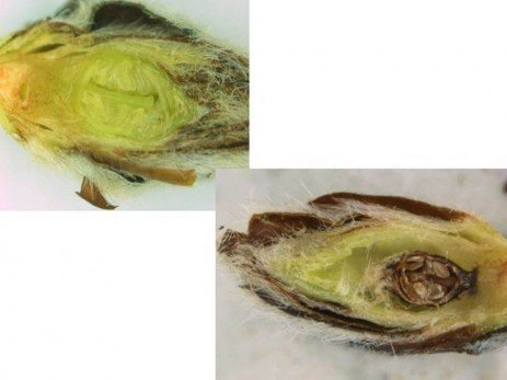 Orchard Frost - Assessing Peach Bud Injury