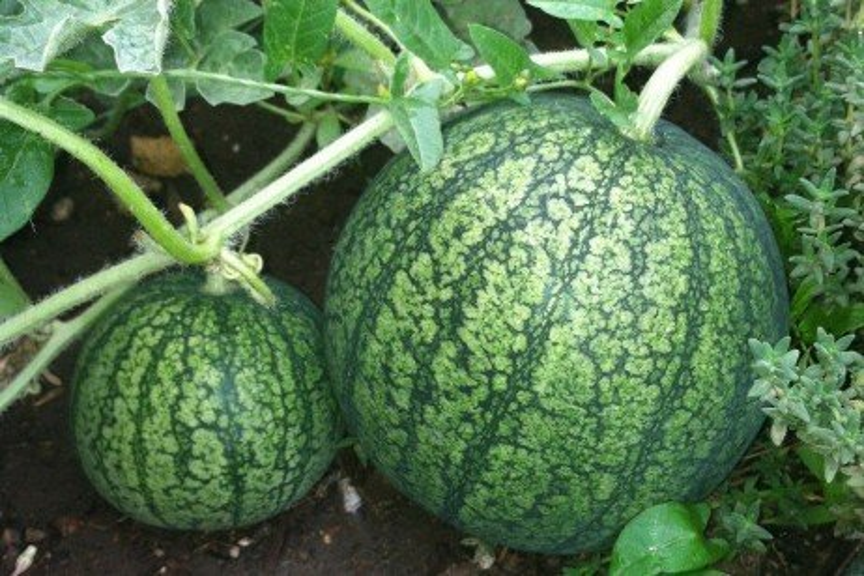 Watermelon Production