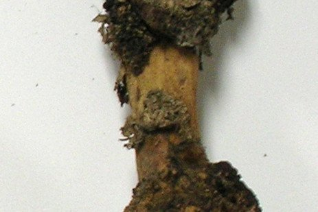 Tree Fruit Disease - Crown Gall