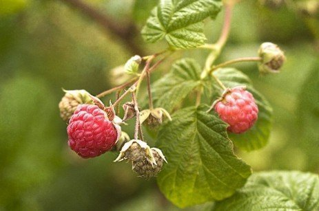 Bramble Disease - Black Raspberry Streak
