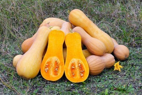 Butternut Squash Cultivar Evaluation 2011