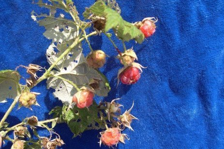 Bramble Disease - Crumbly Berry