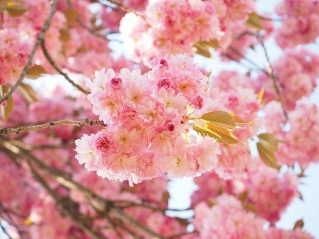 Ornamental Cherry Diseases