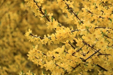 Forsythia Diseases