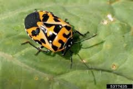 Harlequin Bugs – A Growing Problem in Pennsylvania?