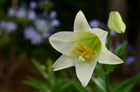 Easter Lily Diseases