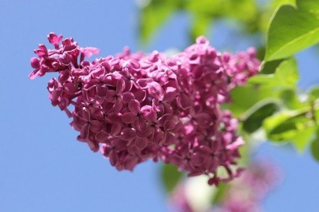 Lilac Diseases