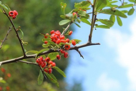 Pyracantha Diseases