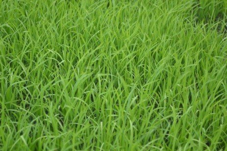 Nitrogen Fertility of Forage Grasses