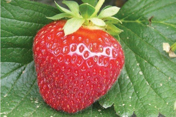 The Mid-Atlantic Berry Guide for Commercial Growers