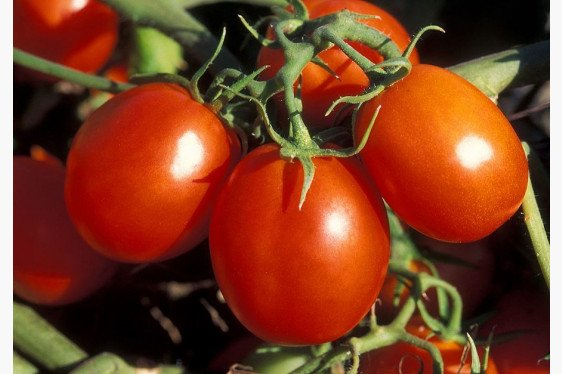 Sample Tomato Budget: Red Type