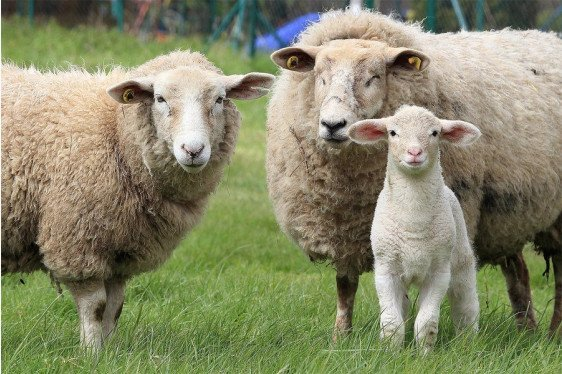 Sheep and Goat Workshops: Lambing and Kidding