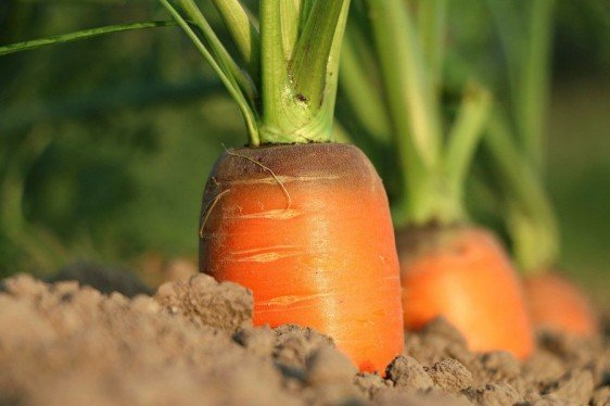Mid-Atlantic Commercial Vegetable Production Recommendations